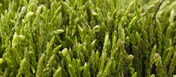 Istrian asparagus