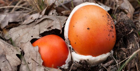 Caesar_Mushrooms_Istria