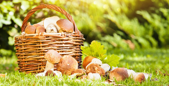 Mushroom_Picking_Istria