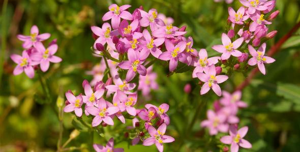 Istria-Medicinal-Plants-Common-centaury