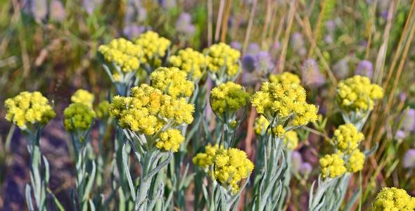 Istria-Medicinal-Plants-Immortelle