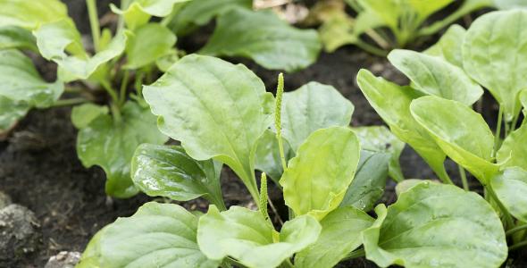 Istria-Medicinal-Plants-Plantain