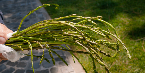 Asparagus_Picking_Istria